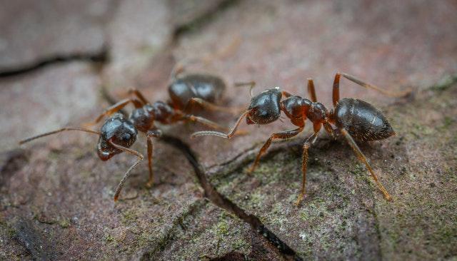 Was hilft gegen Ameisen im Haus